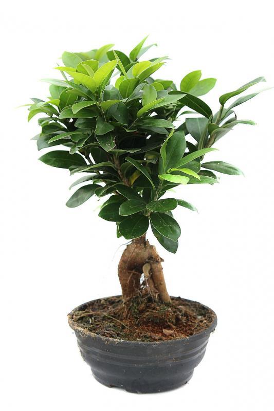 Бонсай / Ficus ginseng