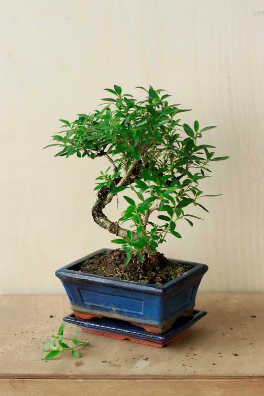 Бонсай серисса японская / bonsai Serissa japonica
