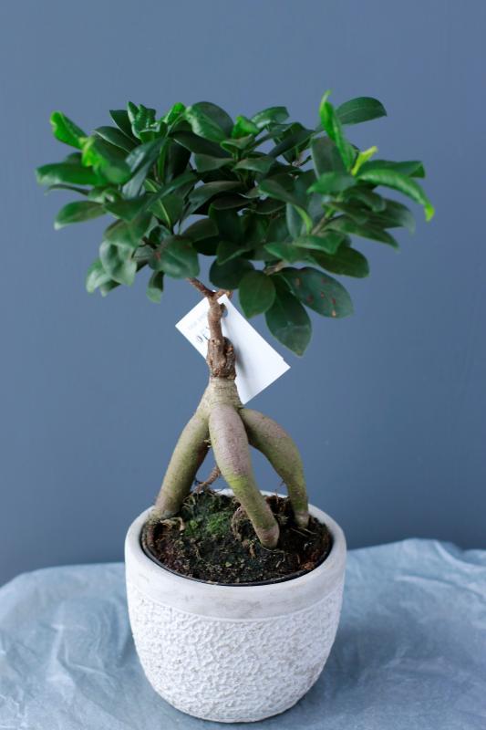 Бонсай Фикус Гинсенг / bonsai Ficus Ginseng