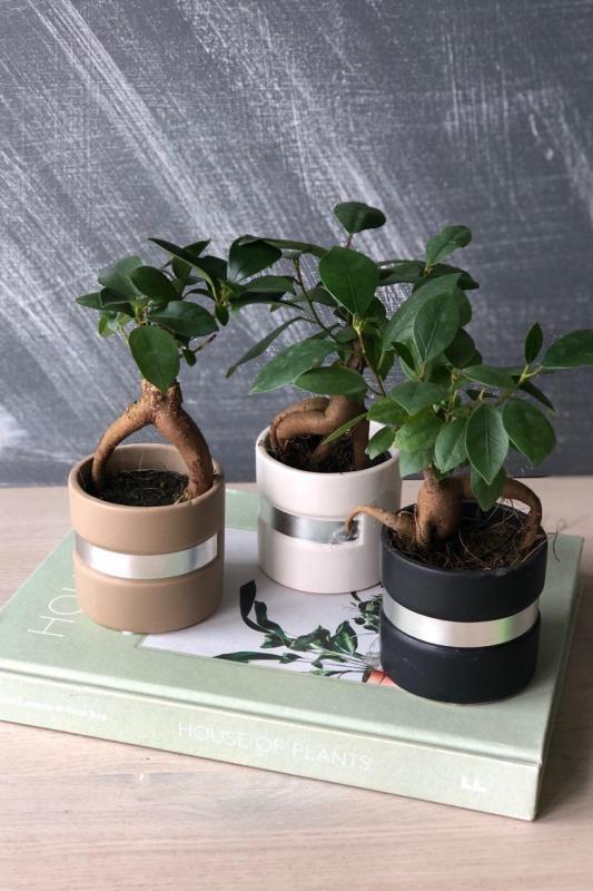 Бонсай Фикус Гинсенг / bonsai Ficus Ginseng d 6см