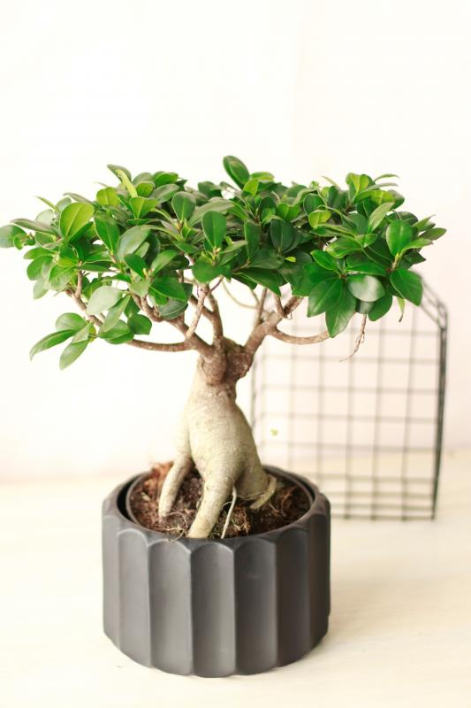 Бонсай Фикус Гинсенг / bonsai Ficus Ginseng 23.32