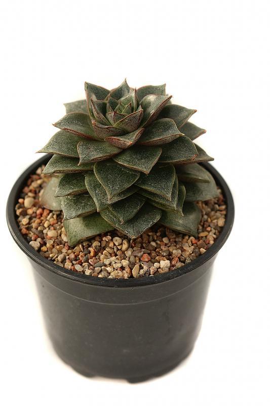 Эхеверия пурпореум / Echeveria purporeum