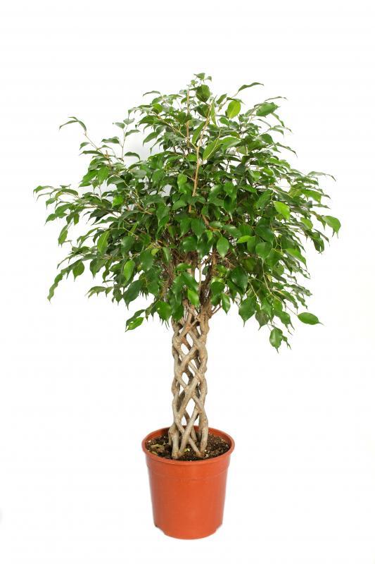 Фикус экзотика на плетеном стволе 24.110 / Ficus exotica