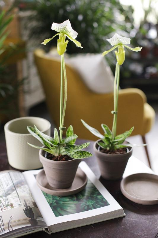 Орхидея пафиопедилюм Фемма 11.35