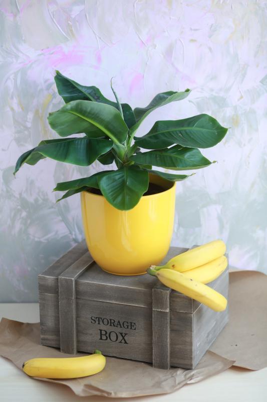 Комнатное растение Банан/ Musa Tropicana