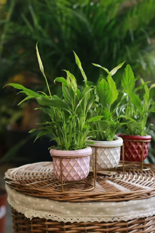 Спатифиллюм / Spathiphyllum