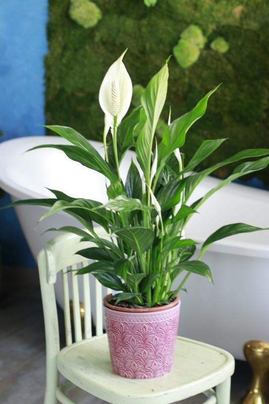 Спатифиллум/ Spathiphyllum 24.120