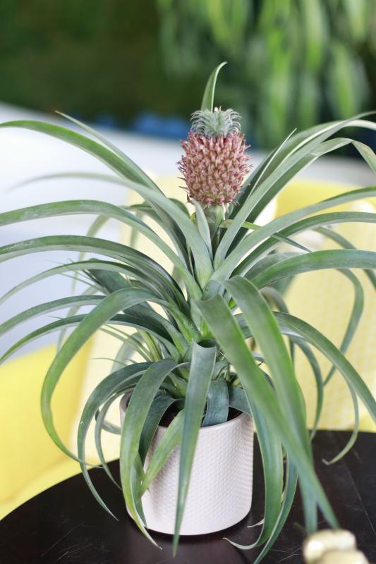 Комнатное растение Ананас / Ananas 12.45