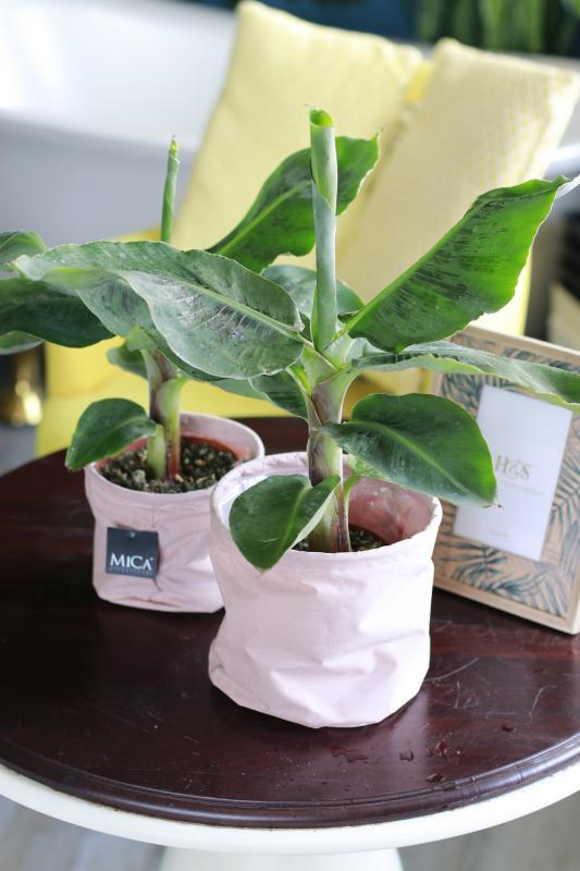 Комнатная банановая пальма (Musa Tropicana)
