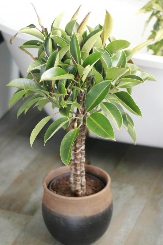 Фикус эластика Мелани / Ficus elastica Melany 21.100