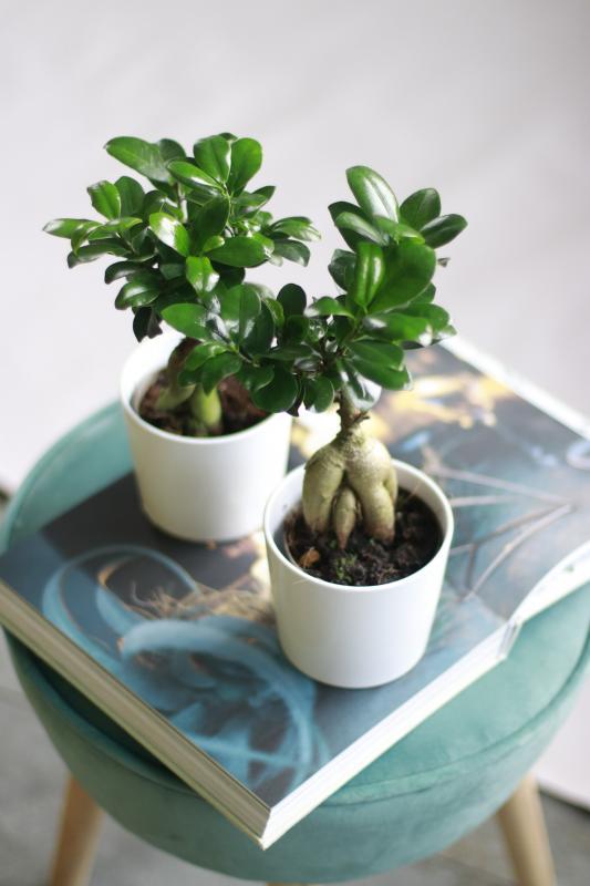 Бонсай Фикус Гинсенг / bonsai Ficus Ginseng 9.30