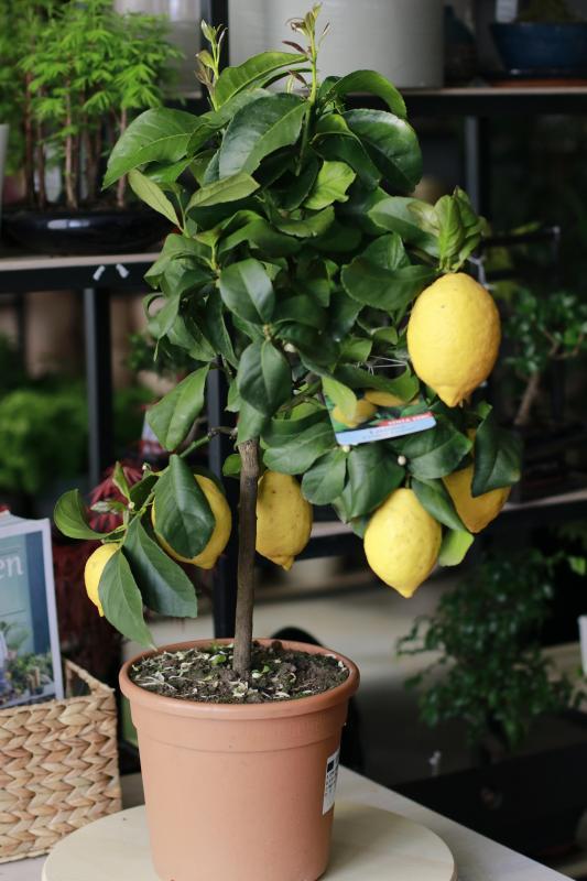 Лимон/ Citrus limon