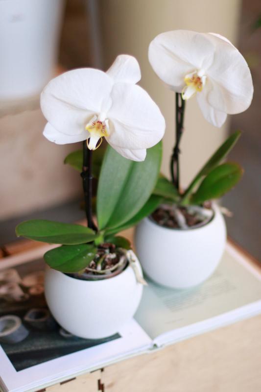 Орхидея Синголо микс 9.30