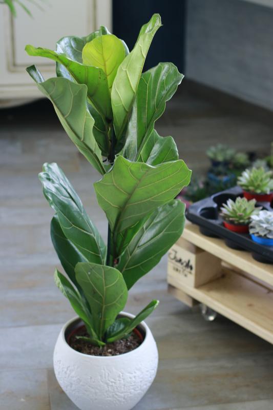 Фикус Лирата / Ficus Lyrata 17.60