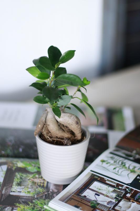 Бонсай Фикус Гинсенг / bonsai Ficus Ginseng 7.20
