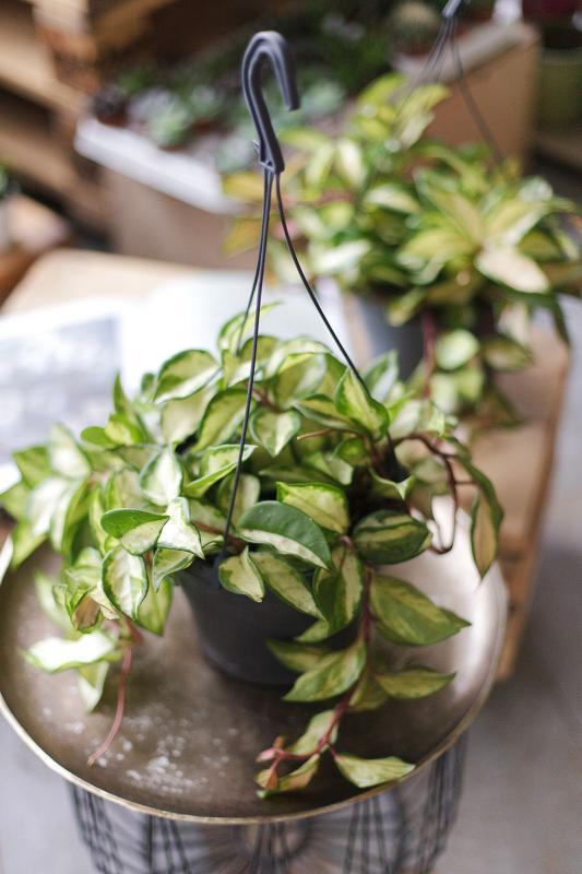 Хойя триколор/ Hoya carnosa 'Tricolor'