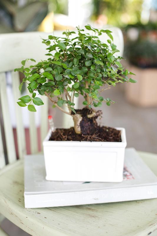 Бонсай с автополивом / bonsai