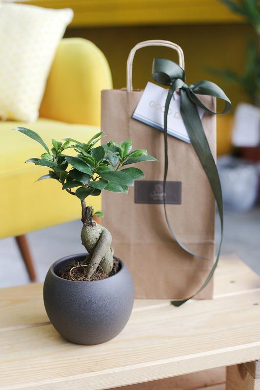 Бонсай Фикус Гинсенг/ bonsai Ficus Ginseng 9.20