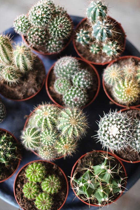 Кактусы микс/ Cactaceae mix 5.5