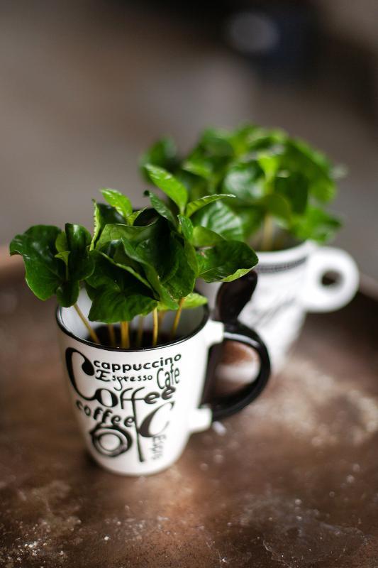 Кофейное дерево (Кофе) / Coffea 8.25