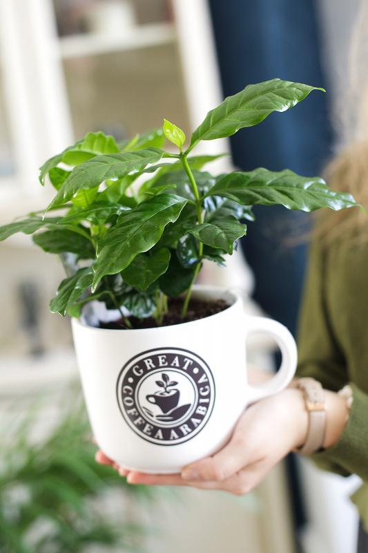 Кофейное дерево (Кофе) / Coffea 12.35