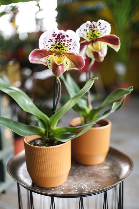 Орхидея Пафиопедилюм  12.35