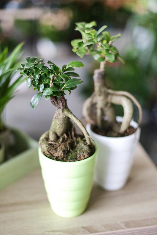 Бонсай Фикус Гинсенг в керамике / bonsai Ficus Ginseng 10.35