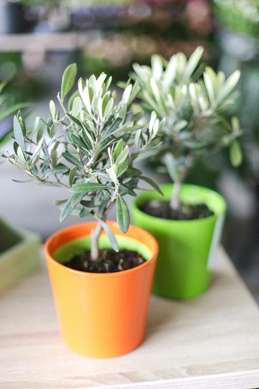 Оливковое дерево (оливка) в керамике / Olea europaea