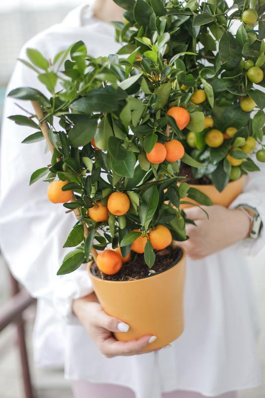 Каламондин / Citrus 14.40