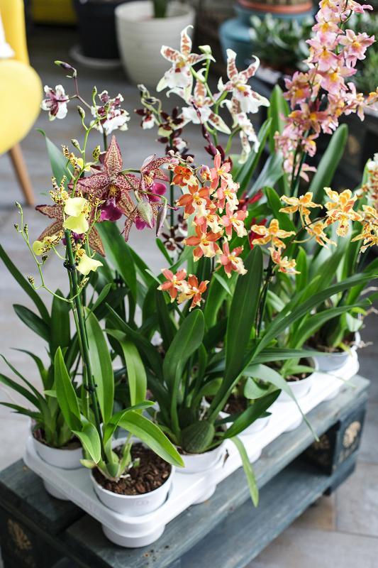 Орхидея Камбрия микс / Cambria