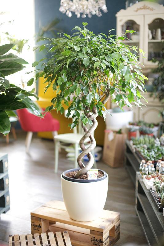 Фикус Бенджамина/ Ficus benjamina на двойной спирали