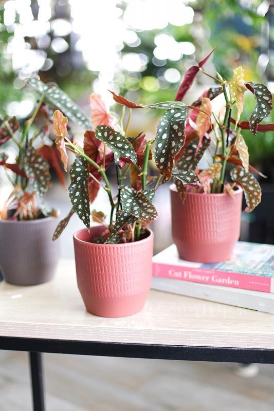 Бегония макулата / Begonia maculata 12.33