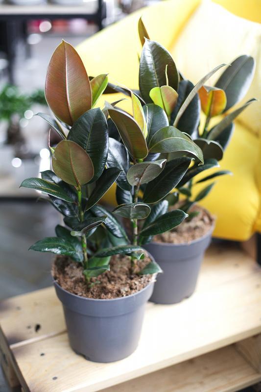Фикус эластика Мелани / Ficus elastica Melany 19.55