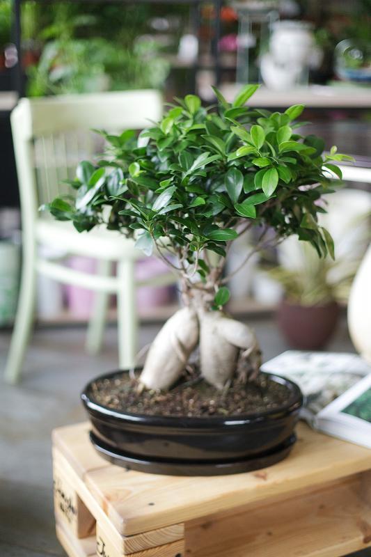 Бонсай Фикус Гинсенг/ bonsai Ficus Ginseng