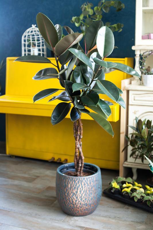 Фикус Эластика Бургунди / Ficus elastica burgundy 31.140