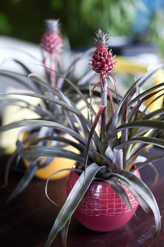 Комнатное растение Ананас / Ananas