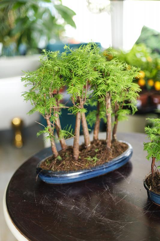 Бонсай метасеквойя / Bonsai Metasequoia 37.45