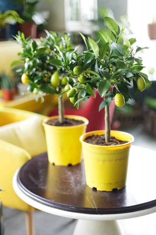 Лимон/ Citrus limon 15.50