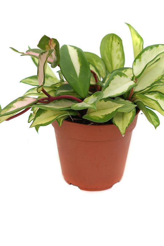 Хойя мясистая триколор / Hoya carnosa 'Tricolor'