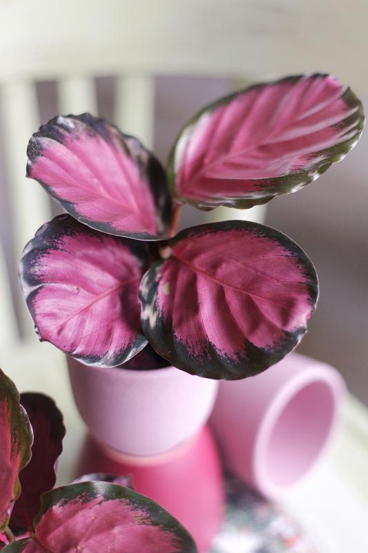 Калатея Розеопикта Кримсон/ Calathea Roseopicta Crimson