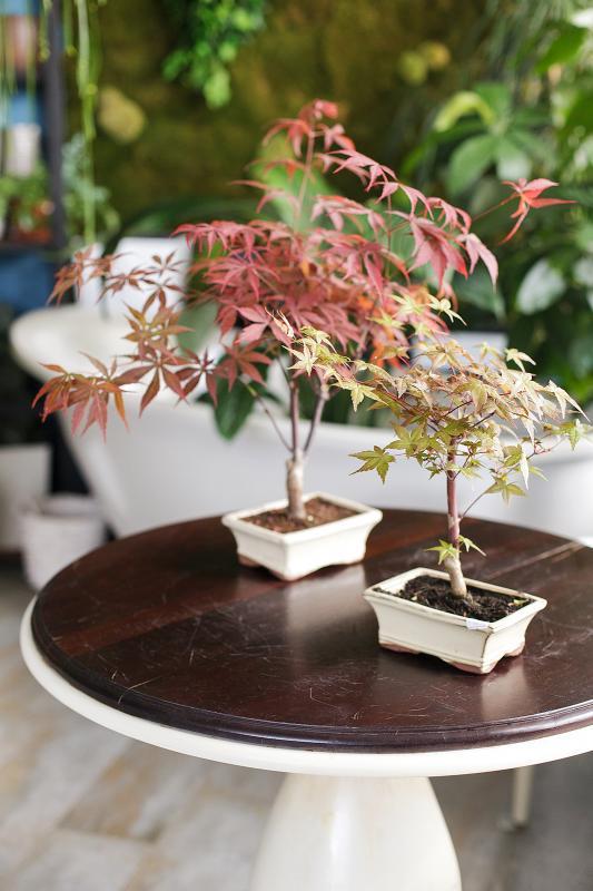 Бонсай Клен/ Bonsai Acer