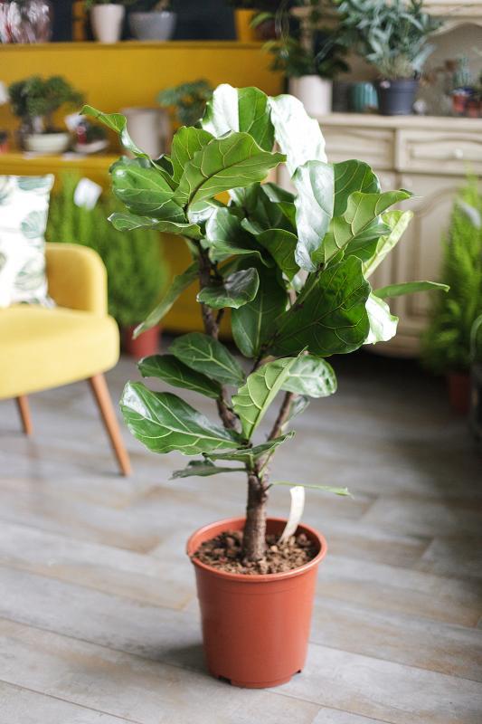Фикус Лирата Бамбино/ Ficus lyrata Bambino 27.130