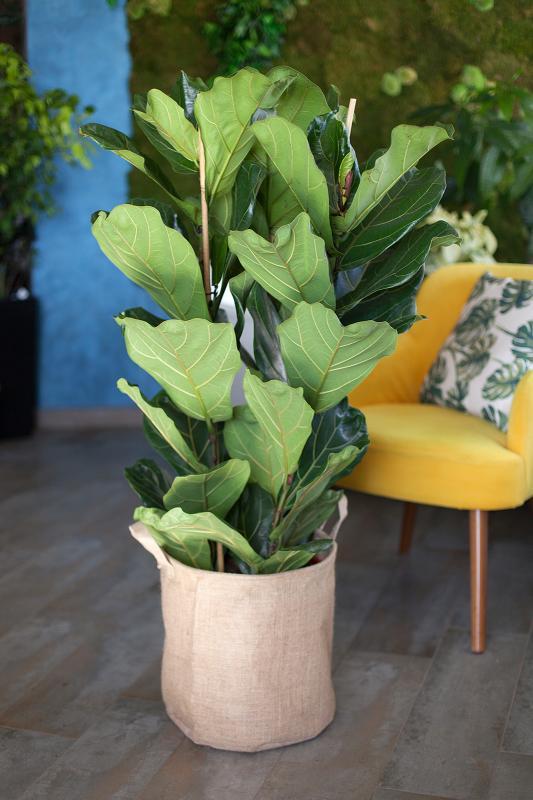 Фикус лировидный / Ficus Lyrata 34.120