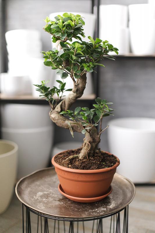 Бонсай Фикус Гинсенг / bonsai Ficus Ginseng 20.60