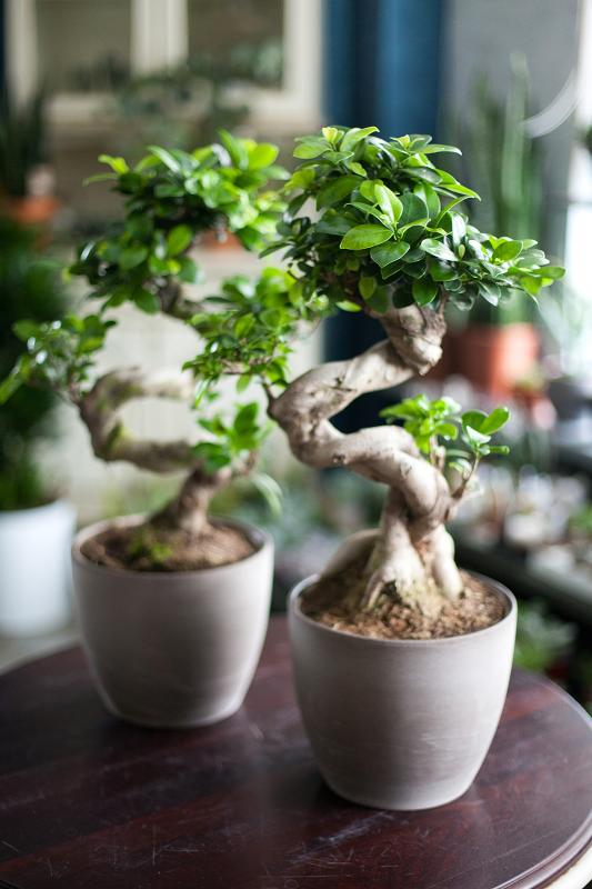Бонсай Фикус Гинсенг / bonsai Ficus Ginseng 21.65
