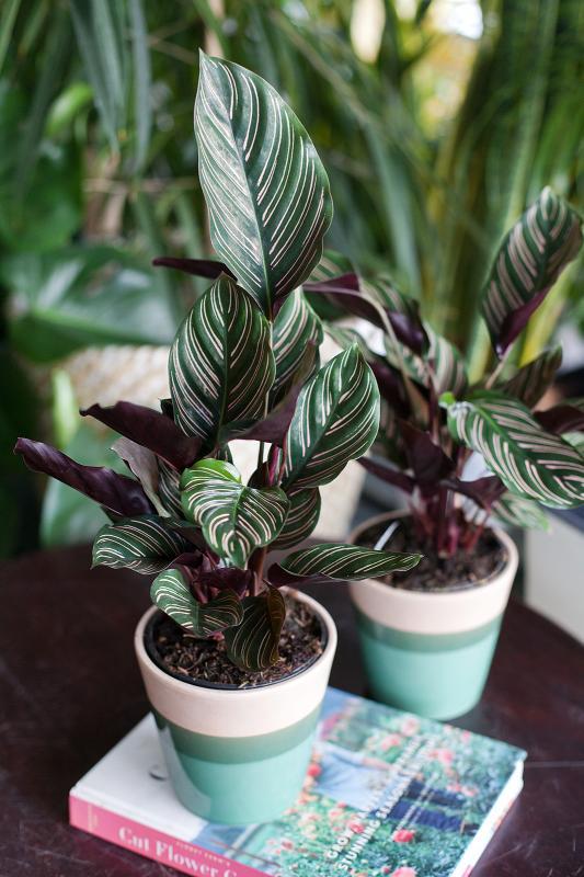 Калатея орната сандериана/ Calathea ornata sanderiana 14.45