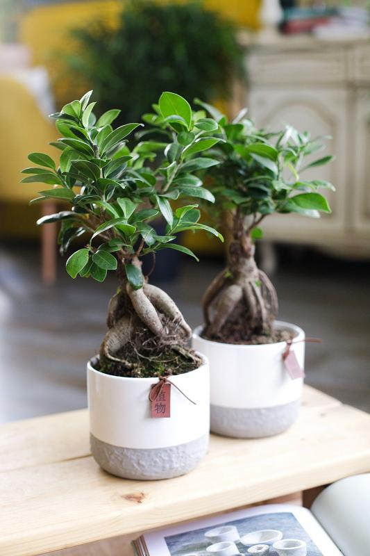 Бонсай Фикус Гинсенг/ bonsai Ficus Ginseng 14.35