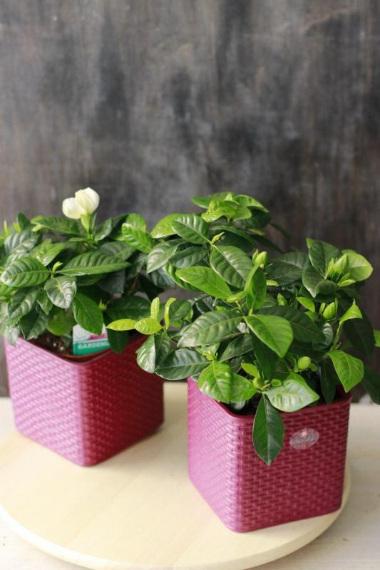 Гардения/ Gardenia jasminoides