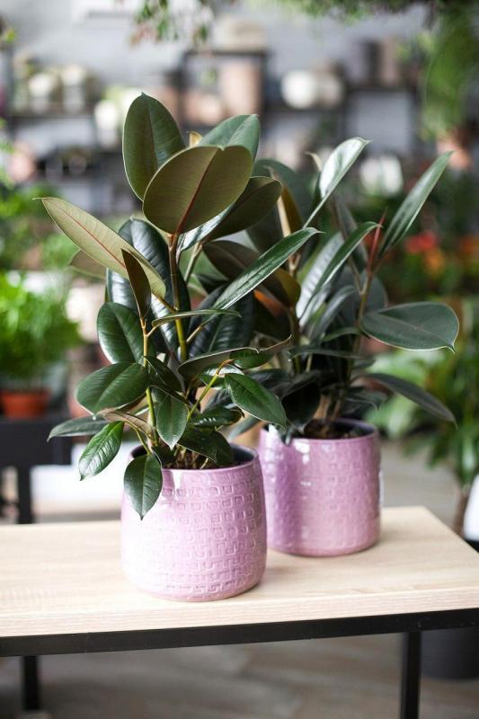 Фикус Эластика/ Ficus elastica 14.60